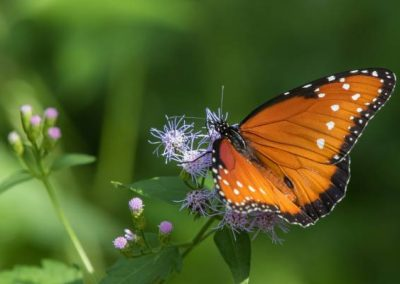 Hidden Springs Agrihood Butterfly Garden