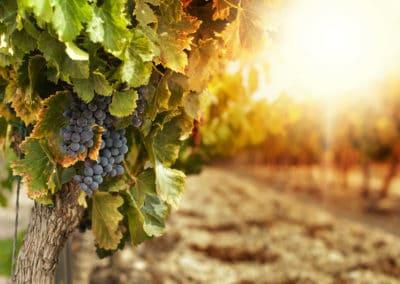 Hidden Springs Vineyard